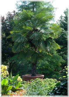 Die hanfpalme im garten oder als zimmerpflanze beides ist m glich garten pinterest - Hanf zimmerpflanze ...