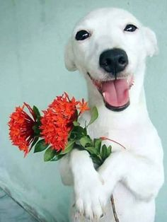Dogs that are treated properly have the best temperaments and they hold no reservations in showing the love they have received. 5 Ways How To Show Your Dog Love Happy Animals, Animals And Pets, Funny Animals, Cute Animals, Cute Puppies, Cute Dogs, Dogs And Puppies, Doggies, Beautiful Dogs