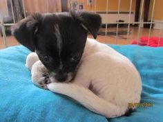 Wilbur is an adoptable Chihuahua Dog in Methuen, MA. Little Wilbur here is the runt of the little only weighed 2 oz at birth.  This little boys mom was found as a stray and was brought into the shelt...