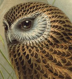 """detail of print from """"A history of the birds of New Zealand"""" by Keulemans, John Gerrard 1842-1912. Laughing owl, Sceloglaux novae-zelandiae."""