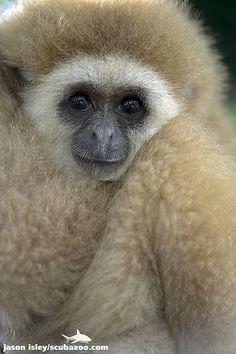 White-handed gibbon - Phuket, Thailand | Flickr - Photo Sharing!