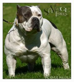 This is CH Mikeland's  Majesty, she is an American Bully of BigRiverbullies.com
