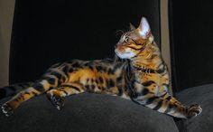 Bengal Cat , I want