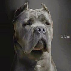 Best of the best....  Cane corso