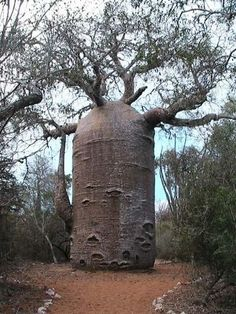 The Baobab Tree can store up to gallons of water in its trunk. - this is NOT a usual baobab tree.is this tree even for real! Weird Trees, Unique Trees, Old Trees, Nature Tree, Tree Forest, Tree Art, Science And Nature, Tree Of Life, Amazing Nature