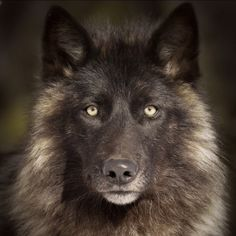 Timber Wolf copyright Michelle Lalancette on Wolf Photos, Wolf Pictures, Wolf Spirit, My Spirit Animal, Beautiful Creatures, Animals Beautiful, Tier Wolf, Regard Animal, Wolf Hybrid