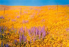 William Eggleston, Untitled (field of yellow and purple flowers), 1978