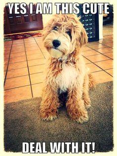 Australian Labradoodle Puppy - Gus of Moo Cow Labradoodles!