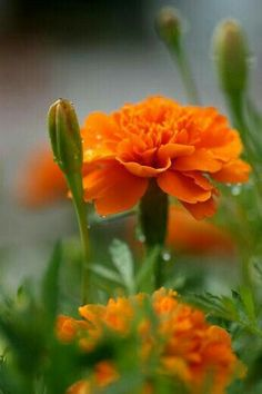 All orange flowers and yellow flowers are beautiful and with meanings of their own.