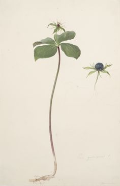 Moritz Michael Daffinger | Herb-Paris | after 1840 | The Albertina Museum, Vienna #VienneseWatercolor Vienna, Museum, Herbs, Watercolor, Plants, Landscape, Flowers, Pen And Wash, Watercolor Painting