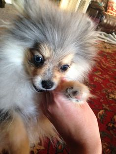 My cute Blue eyed blue Merle Pomeranian puppy, Peppermint. She likes to nibble fingers
