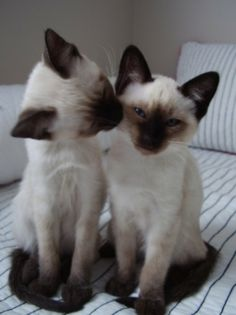 Siamese kitty cat friends