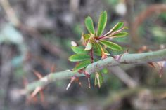 2014-03-11: growing roses
