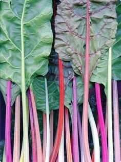 "Rhubarb ""trees""; pinned 8/31/15"