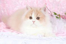 Cream and White Persian kitten