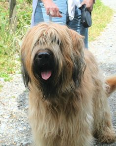 briard dog photo | Here are some photos of Davos in the summer.