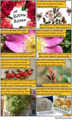 Rose comic #rosehips #roses  #remedy