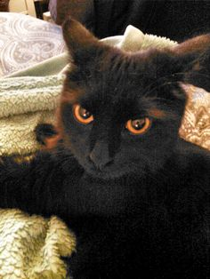 """From MZ: """"This is Amber. Amber is the sister of my beloved little Kovy. She's gorgeous and perfect for Halloween!"""" In October, we are celebrating black cats for Halloween. www.catfaeries.com - Products for good behavior & health for the modern housecat."""