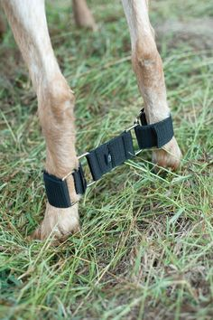 Goat Hobble. An absolute must for milk stand training and/or impatient and fiesty does. Keeping Goats, Raising Goats, Goat House, Goat Barn, Miniature Goats, Nigerian Dwarf Goats, Goat Farming, Show Goats, Goat Milk Stand