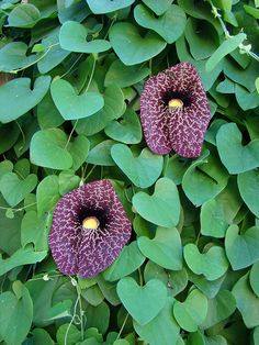 Dutchman's pipe vine. This will attract pipevine swallowtail butterflies. this is on my lust list