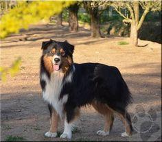 Floride, chien Berger australien