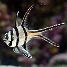 Saltwater Aquarium Fish for Marine Aquariums: Kaudern's Cardinal - Tank-Bred