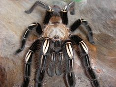 Skeleton Tarantula    by Michelle Howarth