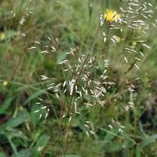 Deschampsia flexuosa (L.) Trin. - W