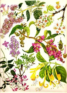 Vintage 1970 Color Art Print Wild Flowers Book PLATE 95 Collectable Frameable Cut-Leaved Persian Lilac in Violet and Pink and White Flowrs Tree Plants