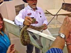 2014 Rattlesnake Roundup in Sweetwater Texas.  Showing of the fangs to the crowd.