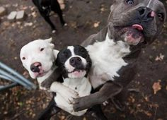 Doggie group hug Tattoo Pitbull, I Love Dogs, Cute Dogs, Vida Animal, Pit Bull Love, Pitbull Terrier, Beautiful Dogs, Mans Best Friend, Dogs And Puppies