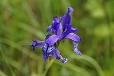 Siberian Iris Purple