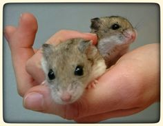 2 female chinese dwarf hamsters