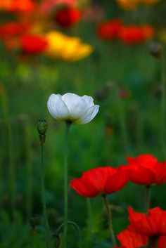 Iceland Poppy.  Love this photo!  I may try poppies for a second year now.