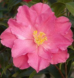 Camellia | Monrovia | Grow Beautifully