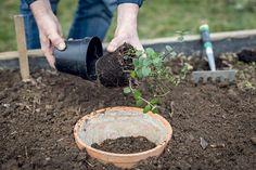 Ako zabrániť rozrastaniu mäty - Záhrada.sk Plants, Flora, Plant, Planting