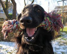 Flatcoated retriever. My sweet dog, always happy!