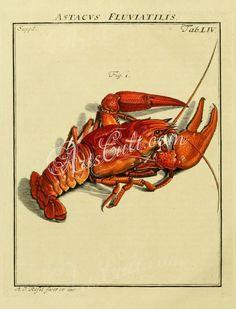 insects-02900  Astacus fluviatilis Astacus astacus Red