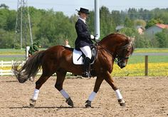 "The Finnhorse is claimed to be among the fastest and most versatile ""coldblood"" breeds in the world. In Finland, the term ""universal horse"" is used to describe the Finnhorse and breeds such as the Fjord horse that are relatively small with a body type that is heavy for a riding horse but light for a draught. Img: 27.5.2007 in a Horsefestival. Finnhorse stallion ""Pelko""."