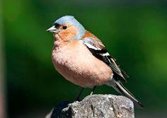 Eläinopas: tutustu kevään muuttolintuihin | Meillä kotona Closer To Nature, Picture Video, Tieto, Pictures, Animals, Education, School, Chaffinch, Photos