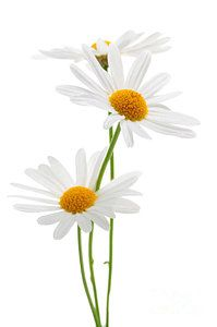 Shop for daisy art from the world's greatest living artists. All daisy artwork ships within 48 hours and includes a money-back guarantee. Choose your favorite daisy designs and purchase them as wall art, home decor, phone cases, tote bags, and more! Happy Flowers, My Flower, White Flowers, Beautiful Flowers, White Flower Background, Daisy Art, Daisy Love, Daisy Daisy, Aquarell Tattoo