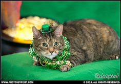 A cat lies near the pot of gold at the end of a rainbow. (St. Patties pet) Love this photo? Re-pin it!
