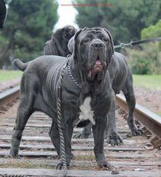Chiens Bull Mastiff, Mastiff Dogs, Neo Mastiff, Really Big Dogs, Huge Dogs, Lap Dogs, Dogs And Puppies, Neopolitan Mastiff, Kangal Dog