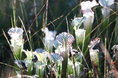 White Pitcher plants