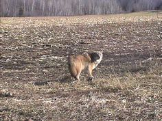 Foremost Coyote Hunting: Daytime Calling Techniques
