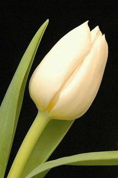 173 best white flowers images on pinterest white flowers tulips winterspring mightylinksfo