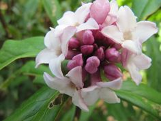 The darling buds of daphne
