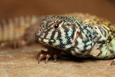 Ornate uromastyx Cute Reptiles, Reptiles And Amphibians, Geckos, Chameleons, Lizards, Uromastyx Lizard, Reptile Rescue, Tortoise Turtle, Terrapin