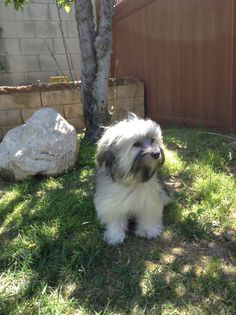 So content Cute Animals Puppies, Cute Dogs, Havanese Full Grown, Havanese Haircuts, Cutest Dog Ever, Havanese Puppies, Companion Dog, Great Friends, Little Dogs