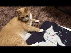 """京都土産""""永楽屋""""猫手ぬぐい開封に絡む♂猫だいず;猫おもしろ動画"""